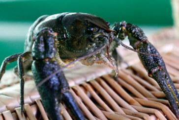 Hallan en Navarra y Cataluña cangrejos autóctonos resistentes a la afanomicosis
