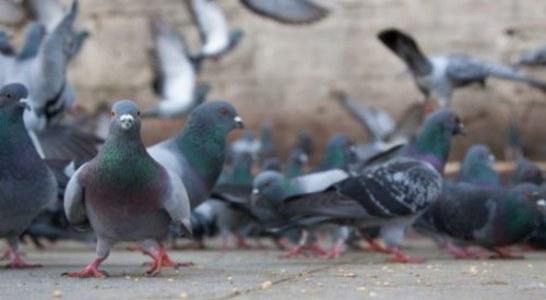Alava: Crecen los problemas con las palomas en Vitoria