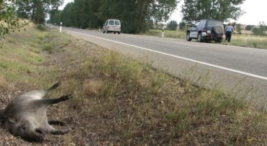 La proliferación de jabalíes, corzos y ciervos incrementa las posibilidades de accidentes de circulación