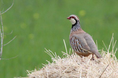 La Federación Navarra de caza promueve un proyecto de recuperación de la perdiz