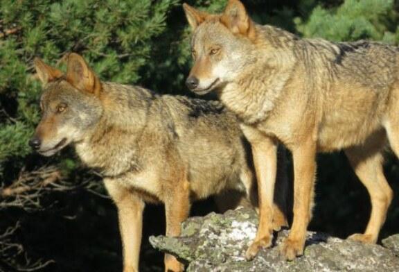 El lobo en Asturias: Realidad o ficción