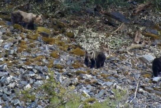 Los recientes incendios de Galicia y Asturias inciden directamente en las poblaciones de osos de la Cordillera Cantábrica