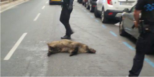 La Rioja: Abatido jabalí en el centro de Logroño por la policía municipal