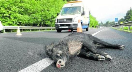 Cantabria: La invasión de la carretera por animales causa una media de un accidente al día