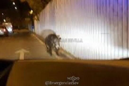 Abatido jabalí de 100 kg en el centro de Sevilla. Vídeo interior