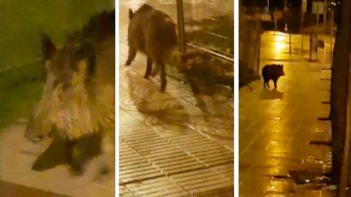 Navarra: Otro jabalí se pasea por el casco urbano de Pamplona (ver vídeo interior)