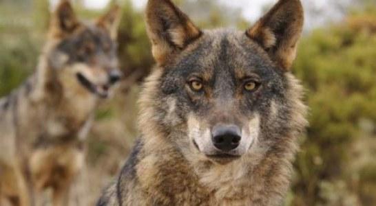 El TSJ desestima el recurso del PACMA contra la caza del lobo