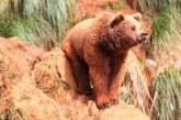Todo sobre la historia del oso pardo en España