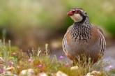 Fundación Artemisan cuenta ya con más de 30 fincas colaboradoras para recuperar la perdiz roja silvestre en España