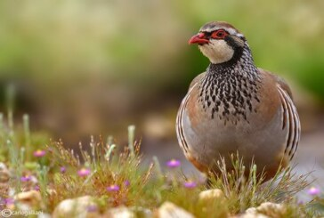 La ONC pone en marcha un proyecto de recuperación de la perdiz roja con el apoyo de la Fundación Biodiversidad