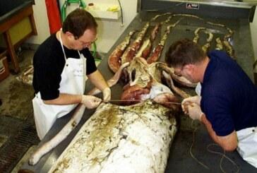 Pescan un calamar gigante de de 130 kg. Toda la información sobre esta especie