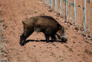 """<span class=""""entry-title-primary"""">Los cazadores somos la solución para los agricultores alaveses</span> <span class=""""entry-subtitle"""">La superpoblación de jabalíes causa estragos en Álava</span>"""