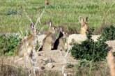 Cazar, respetar y conocer la naturaleza. El conejo silvestre