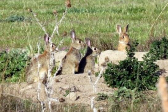 """"""" Se nos comen los conejos """". Se triplican los daños por fauna"""