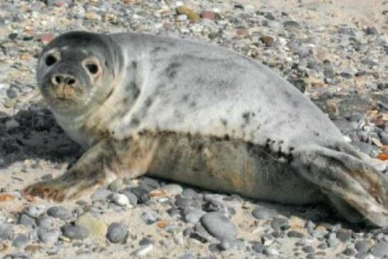 Avistan una cría de foca gris en varios puntos de Bizkaia y Gipuzkoa. Ver vídeo interior