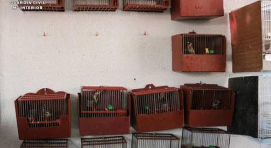 Piden dos años y medio de cárcel por capturar jilgueros ilegalmente