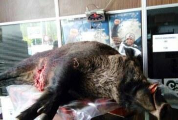 La cifra de jabalíes que se caza al año en Navarra ronda los 9.000 ejemplares