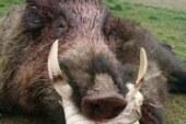 ¿Real o fake? Jabalí con colmillos de 23 cmts capturado en Zamora