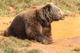 Resumen de la historia del oso pardo en España