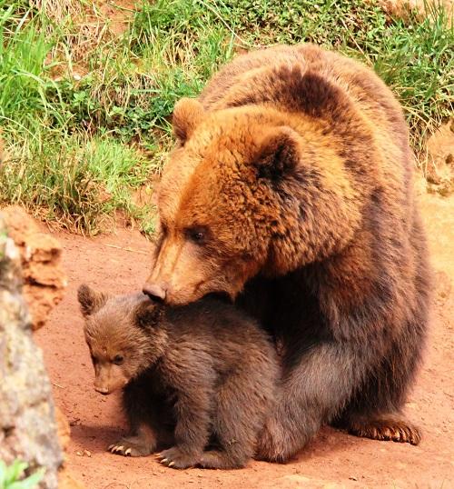 oso españa (1)