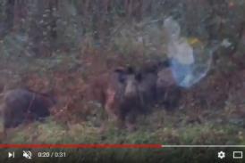 Vídeo del día: ¡Sorprendente la tranquilidad de estos jabalíes! Dima (Bizkaia)