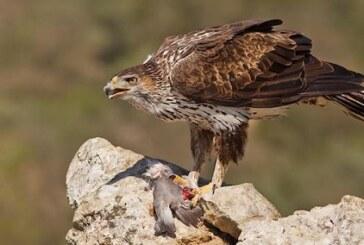 Aguila Perdicera -Cuaderno de campo