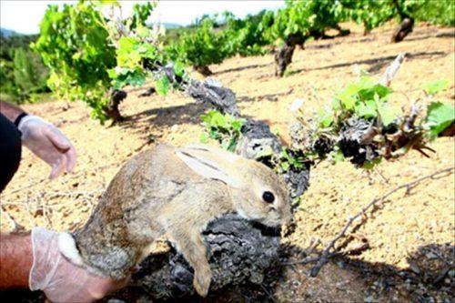 Agricultores denuncian la plaga de conejos en Castilla y Leon