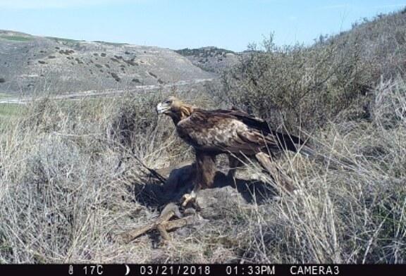 Cazadores y conservacionistas comparten un proyecto de investigación sobre águilas y corzos
