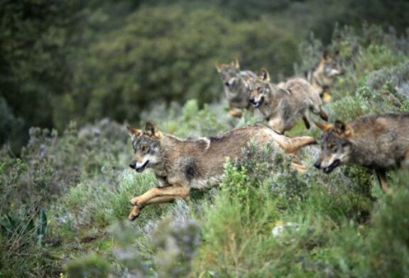 Artemisan defiende Estrategia Nacional Conservación del Lobo