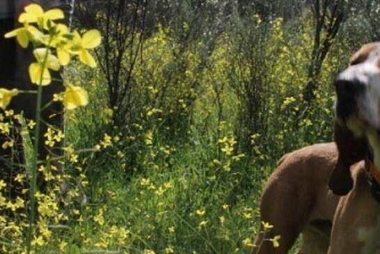 La ONC muestra su apoyo al sector de la caza con perros, atacado injustamente en base a datos falsos