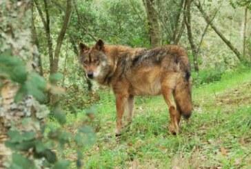 El Patronato de Picos de Europa impulsa un protocolo para la captura de lobos