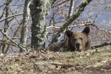 El oso Beato vuelve a su medio natural en Cantabria