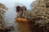 Los pescadores se organizan para salvar a las carpas encalladas en los campos inundados