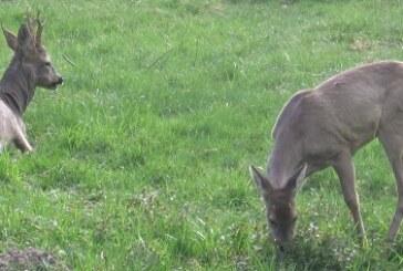 En 2017 se cazaron en Gipuzkoa 1656 corzos