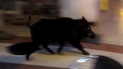 Jabalí macho de 60 kg se mete en una vivienda (+ vídeo)