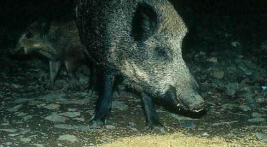 La peste Porcina Africana llega a Europa: Detectado foco en un jabalí en Hungría