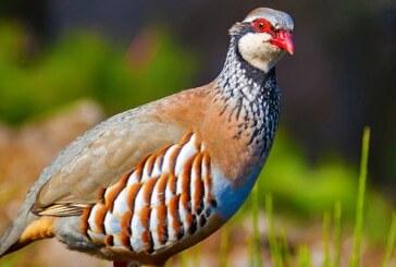 Dos cotos de Madrid se suman al proyecto RUFA para recuperar la población de perdiz roja y otras aves esteparias