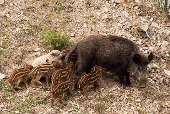 ADECANA pide no ampliar las fechas de caza del jabalí y poder cazarlo con nieve en el pirineo