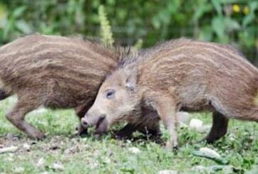 La Xunta permitirá cazar jabalíes fuera de temporada sin daños a los cultivos