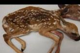 Encuentran un ciervo de dos cabezas, científicos explican la razón