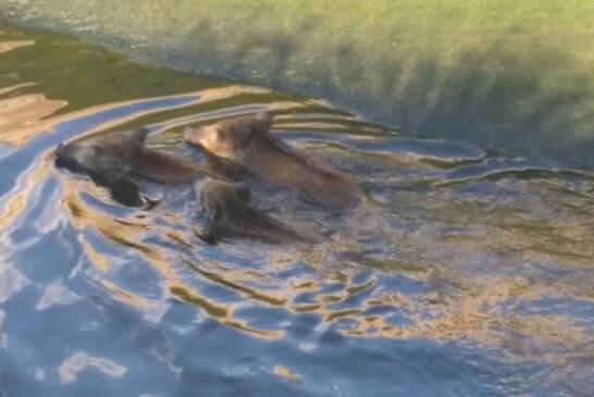 Un hombre resulta herido al intentar rescatar a un jabalí de un canal