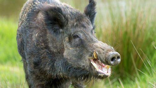 MÁXIMA ALERTA Y DIFUSIÓN cazadores. Detectados casos de peste porcina en Bélgica