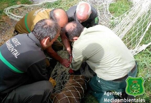 Capturan dos corzos que pastaban en el casco urbano de Burgos