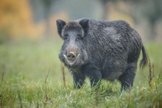 Europa aconseja incrementar la caza del jabalí como medida de control de la peste porcina