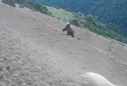 Un oso se enfrenta a un pastor en el Pirineo
