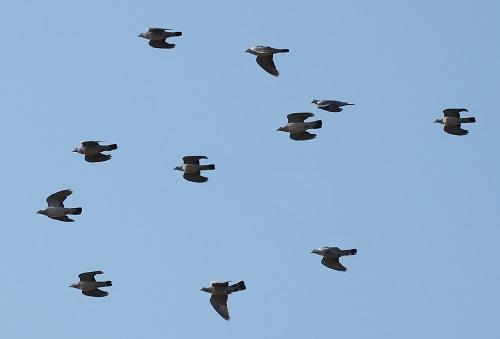 Euskadi espera la ampliación del período de caza de la paloma torcaz