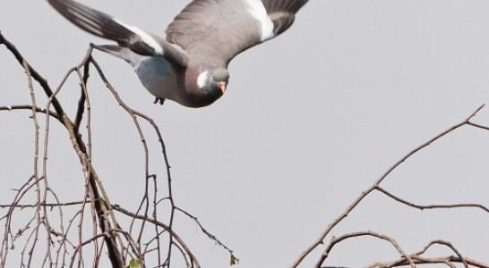 Prórroga de la caza de la paloma torcaz