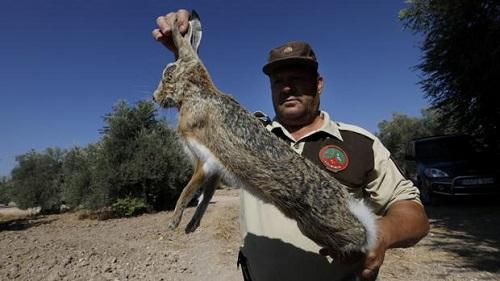 Piden colaboración a los cazadores para controlar la mixomatosis en las liebres