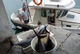 Cierre de la pesca del atún blanco del norte. La medida afecta a la embarcaciones deportivas