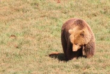 Un canadiense consigue sobrevivir al ataque de un oso pardo apuñalándolo con una navaja de bolsillo